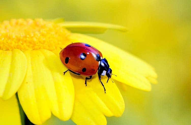Is it good luck to see a ladybug?