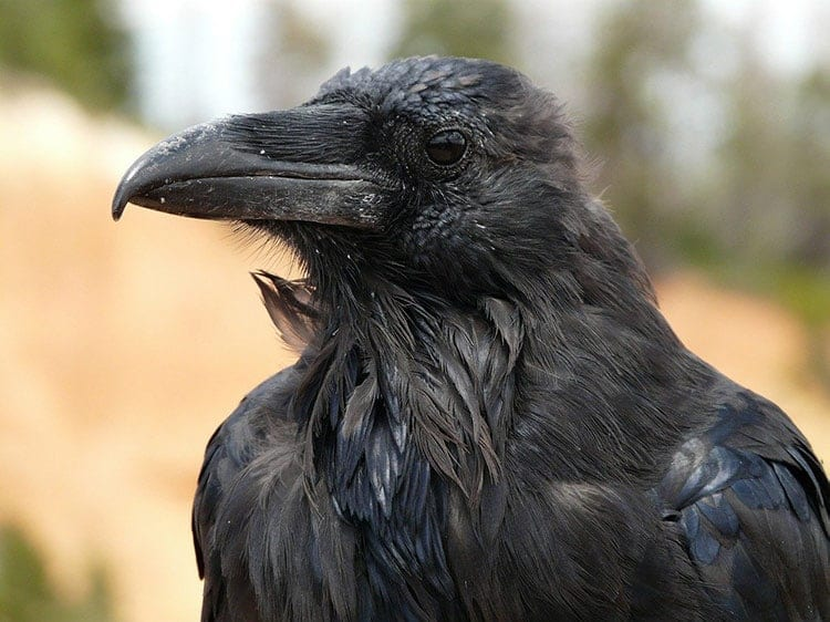 What Does Seeing A Raven Mean