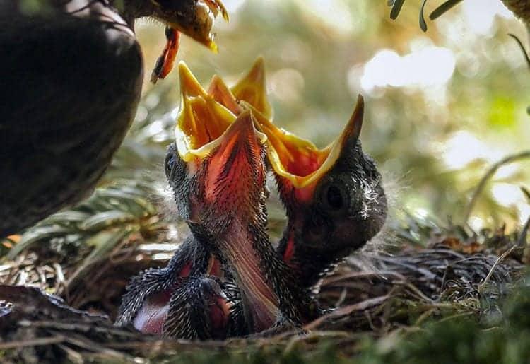 birds nest with chicks
