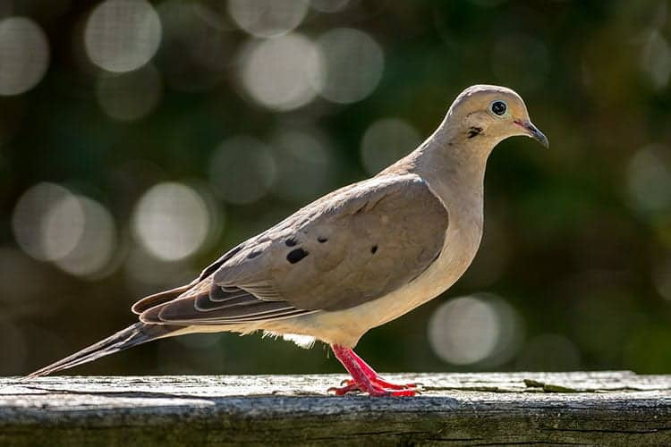 Do Mourning Doves migrate?