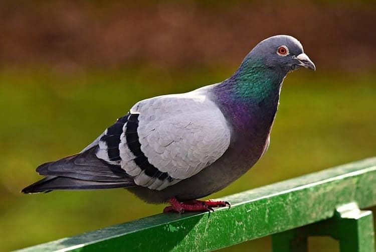 Pigeon Spirit Animal