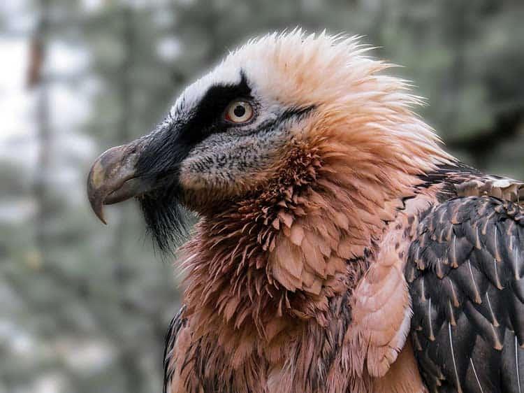 Bearded Vulture - Biggest Bird of Prey