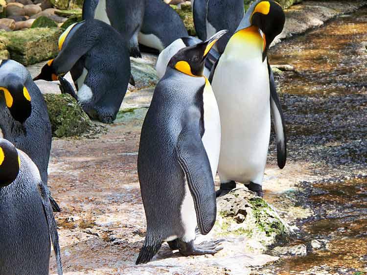king penguin fun fact