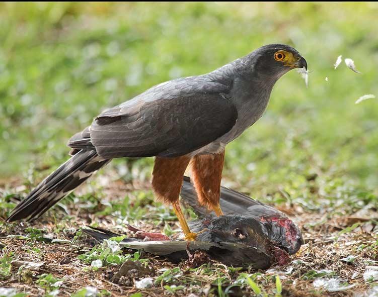 Bicoloured_Hawk_small bird of_prey