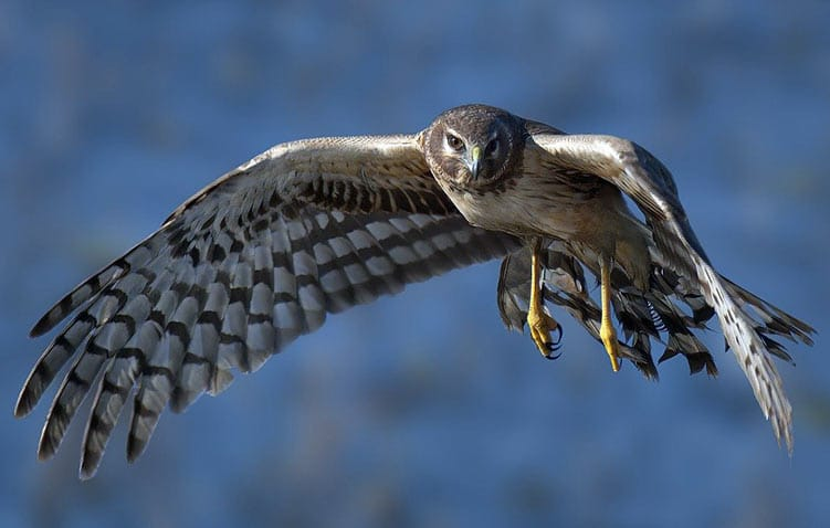 Birds of Prey Ohio northern-harrier