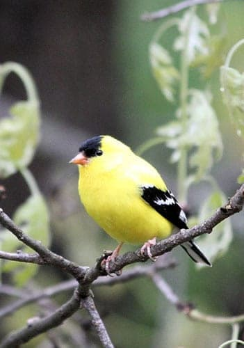 Goldfinch SpirituaL Meaning