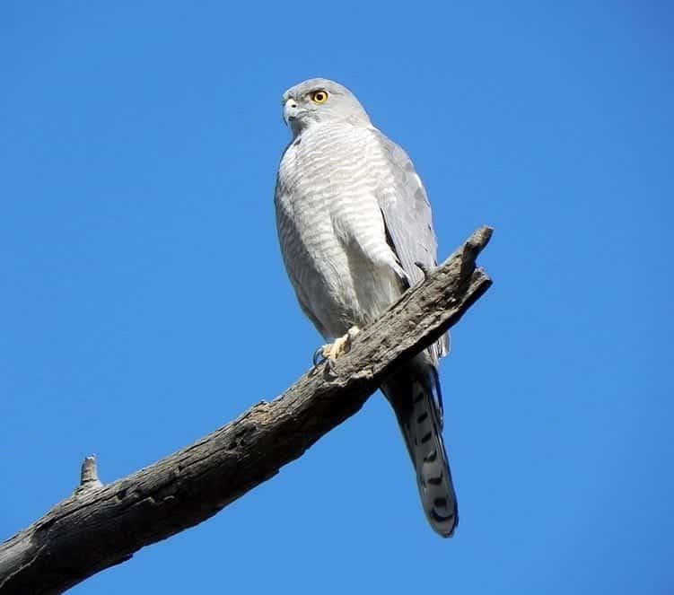 Shikra - small birds of prey