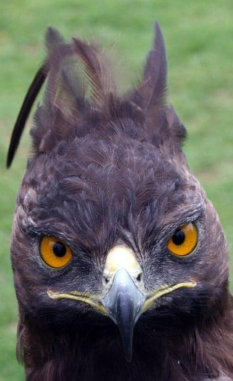 Crowned Eagle bird vision