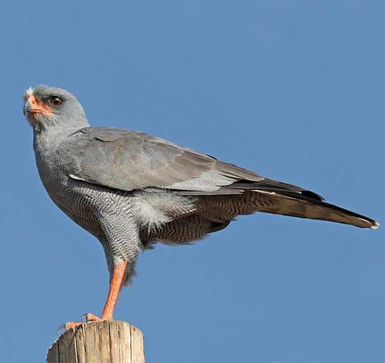 Africa Birds of prey Eastern Chanting Goshawk