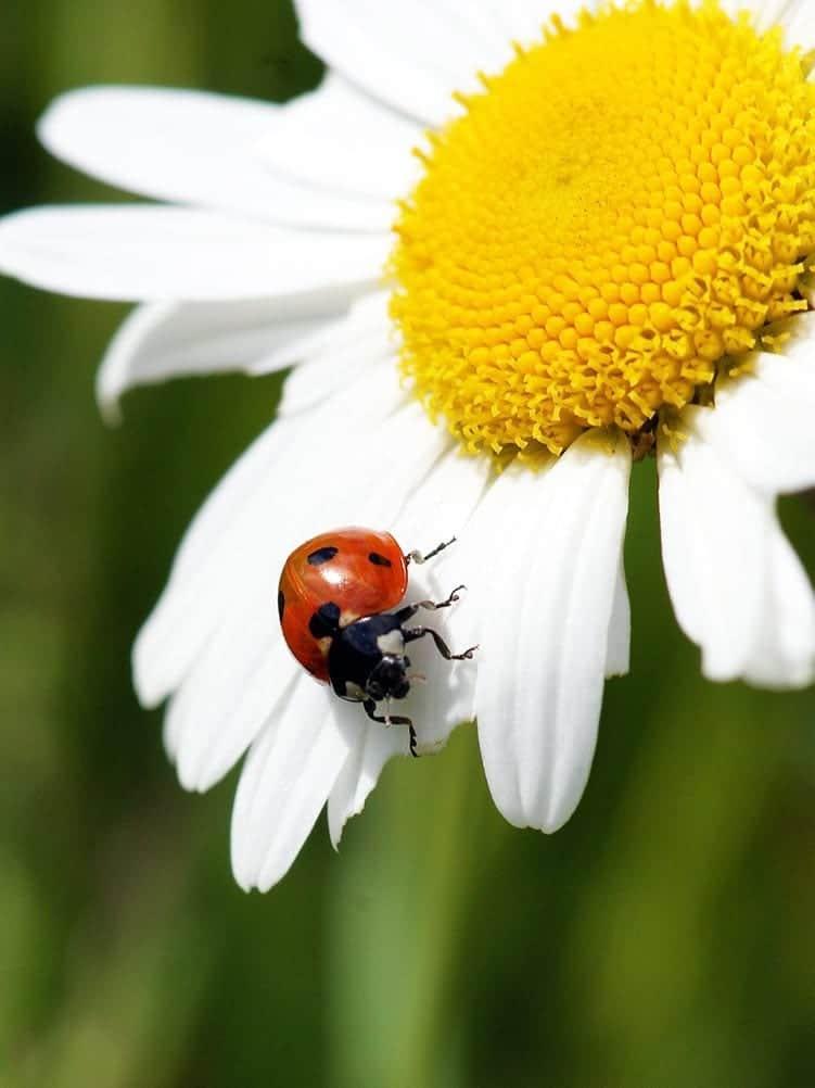 Ladybug love symbol