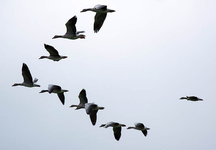 Flock Of Geese Meaning