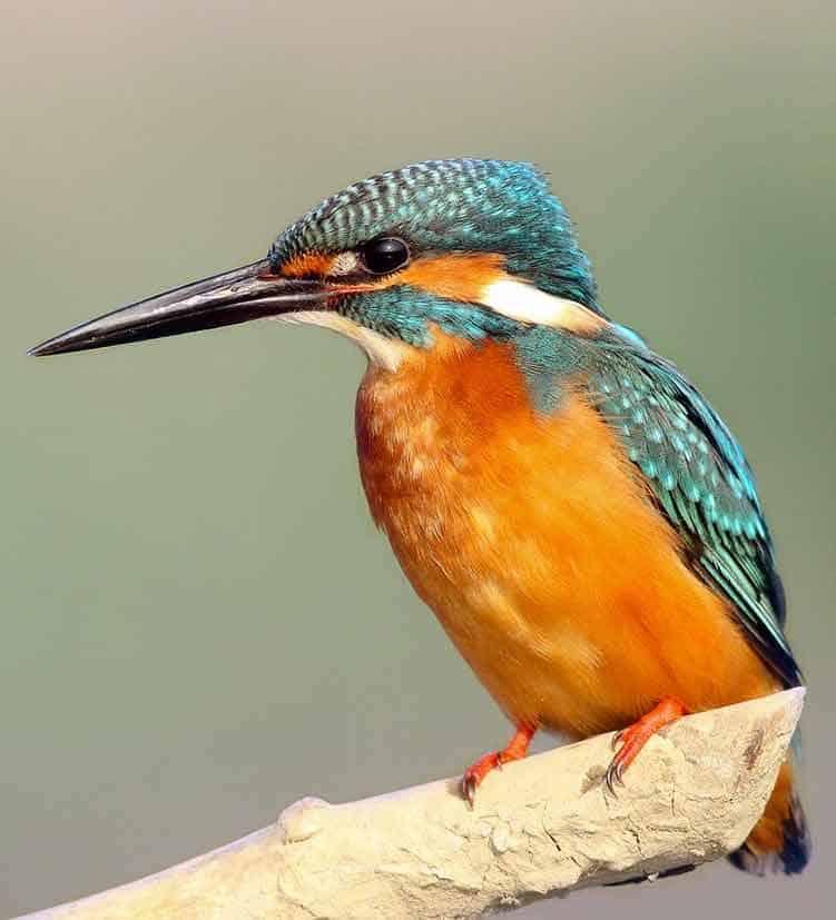Spirit Animal Kingfisher